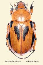 Photo: Ancognatha vulgaris, Costa Rica, Esquinas Rainforest (08°42´/-83°12´), leg. Erwin Holzer, det. Angel Solis