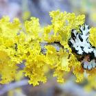 Brown-eyed sunshine lichen