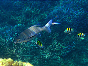 Photo: snubnose drummer and blue-streaked cleaner wrasse