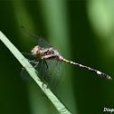 Micrathyria hypodidyma