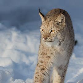 Lynx by Anngunn Dårflot - Animals Lions, Tigers & Big Cats