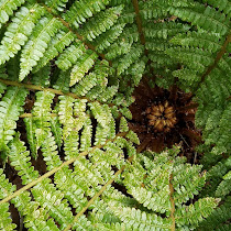 Ferns of Minnesota, Wisconsin, Michigan, and southern Ontario