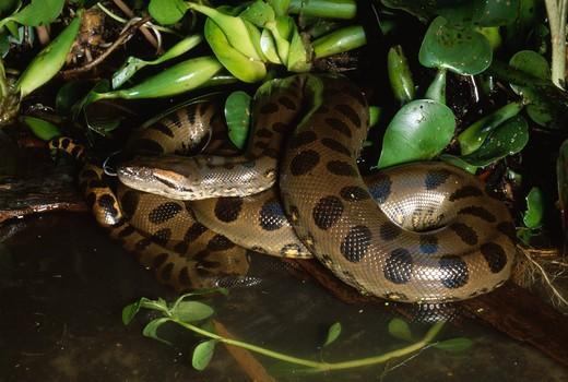 https://www.reptilefact.com/wp-content/uploads/2016/10/Green-Anaconda-in-Water.jpg