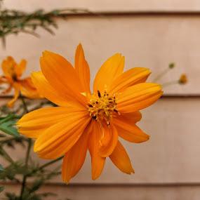 Cosmos by Erl de Jose - Flowers Flower Gardens ( orange flower, nature, garden, cosmos, flower,  )