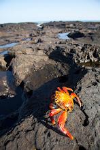 Photo: Portrait of Sally Lightfoot Crab (Grapsus grapsus) in the Galapagos Islands, Ecuador.