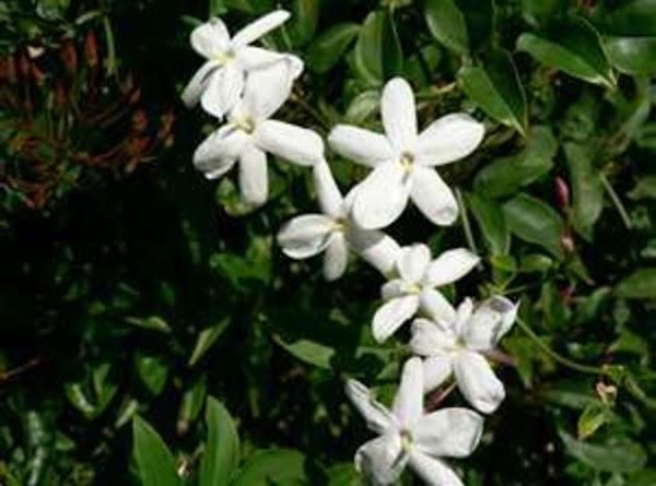 Jasmine {Jasminum Sambac}: See Above. Jasminum Sambac is preferred by some for its perfume...