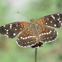 Texan Crescent butterfly