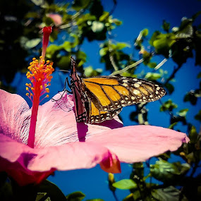 Visitor by Anne LiConti - Instagram & Mobile Android ( #visitor, #butterfly, #flower, #phonephoto, #mobile, #hibiscus, #nature, #monarchbutterfly, #monarch, mobilephoto, #instagram,  )
