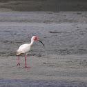 Ibis blanco (White ibis)