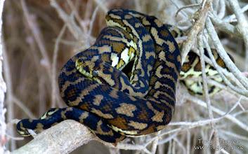 Photo: Python at Wedge Island, Western Australia