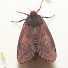 Large Ruby Tiger Moth - 8158