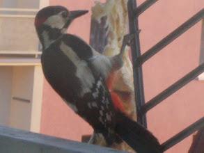 Photo: kámoš z balkonu - ze začátku přiletěl 1 - 2 x denně, za nedlouho se jeho návštěvy stupňovaly na 5 - 6 x denně. Nyní jsem opět bez kámoše. Zřejmě odchoval mladé a už nemá potřebu shánět víc krmení, tak nelítá.