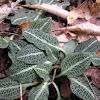 Downey Rattlesnake Plantain