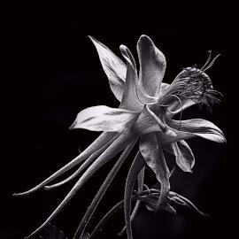 by Al Duke - Black & White Flowers & Plants ( colombine,  )