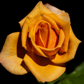 Autumn Rose by Michael Thorndike - Flowers Single Flower ( orange, photo, rose, garden, flower )