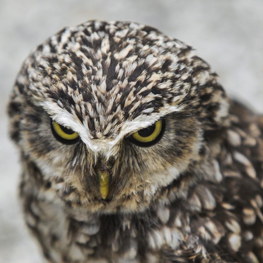 Mrki by Krume Ivanovski - Animals Birds ( burrowing owl, mrki, owl, ćuk jamar, athene cunicularia )