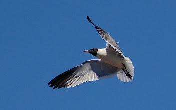 Photo: Day 58 ... Seagull in flight in Cape May, NJ