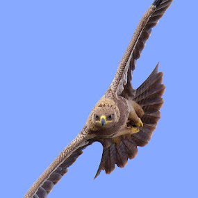 Tawny Eagle  by Raj Dhage - Animals Birds ( nikon 600mm fl, tawny eagle, nikon )