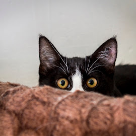 Peek a Boo by Gary Tindale - Animals - Cats Kittens ( kitten, ears, cute, small, black, eyes,  )