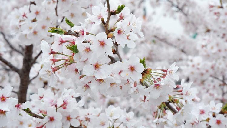インプレッサ スポーツ GP6の桜と愛車,桜とコラボ,桜とスバル,桜に関するカスタム&メンテナンスの投稿画像4枚目