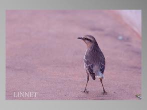 Photo: Chalk-browed Mockingbird(マミジロマネシツグミ)