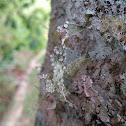 Strap Lichen