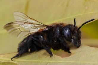 Photo: I learned the hard way that some bees don't sting but bite, and it can be painful! Descobri da forma mais dura que algumas abelhas não ferram mas mordem, e pode ser doloroso!