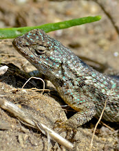 Photo: 117. Immediately next to the bright yellow flower in the last shot was this lizard, with its striking turquoise scales.