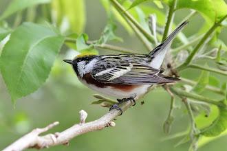 Photo: Chestnut-sided Warbler