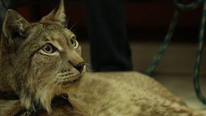 Sir Lynx-a-Lot thumbnail