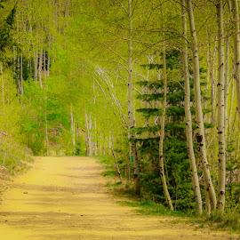 DIRT ROAD by Jennifer  Loper  - Nature Up Close Trees & Bushes ( aspens, santa fe, new mexico, trees, dirt road, fir )