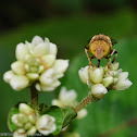 Eristalinus quinquestriatus 黃跗斑眼蚜蠅