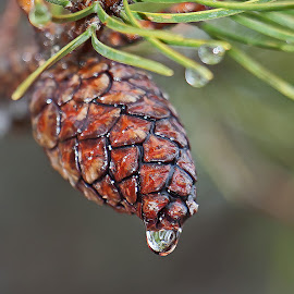 Drippy Pine Cone by Bill Diller - Nature Up Close Trees & Bushes ( rain, water drop, forest, michigan, pine cone, winter, pine trees, pine needles )