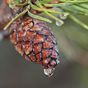 Drippy Pine Cone by Bill Diller - Nature Up Close Trees & Bushes ( rain, water drop, michigan, pine cone, winter, pine trees )