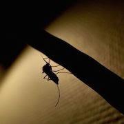 К чему снится комар?
