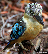 Photo: Year 2 Day 215 - Same Blue-Winged Kookaburra Again