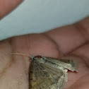 Forage looper moth