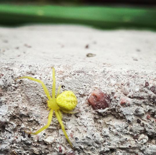 Araña vara de oro