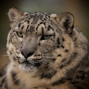 Snow Leopard by Chris Boulton - Animals Other Mammals ( big cat, face, cat, nature, snow, wildlife, mammal, snow leopard, leopard, animal )