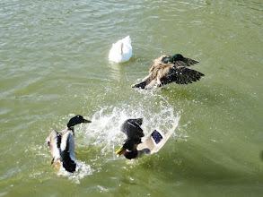 Photo: Ducks fighting at Eastwood Park in Dayton, Ohio.
