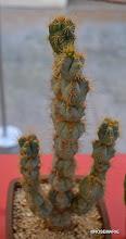 Photo: Pseudopilocereus monstrose form