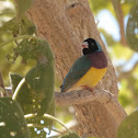 Gouldian Finch (black-headed male)