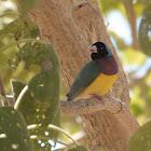 Gouldian Finch (black-headed male)