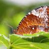 Common Palmfly Female