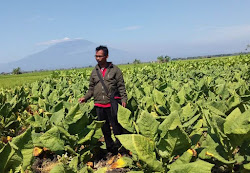 Berita terkini petani tembakau di Ngawi