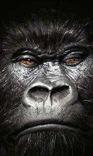 wallpaper gorillas - náhled