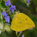 Common Emigrant / Lemon Emigrant ( ♀ )