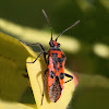 Black and Red Squash Bug