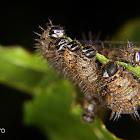 Passion fruit caterpillars