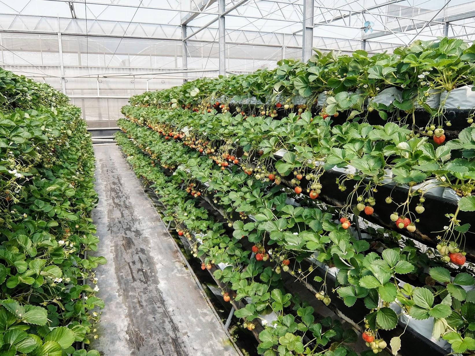 一般草莓區域, 可以看到草莓超多的喔